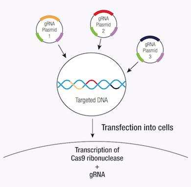 CRISPR-Cas9