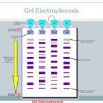 dna and gel electrophoresis